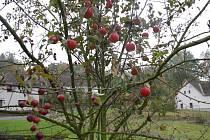 Jabloň ve Služátkách
