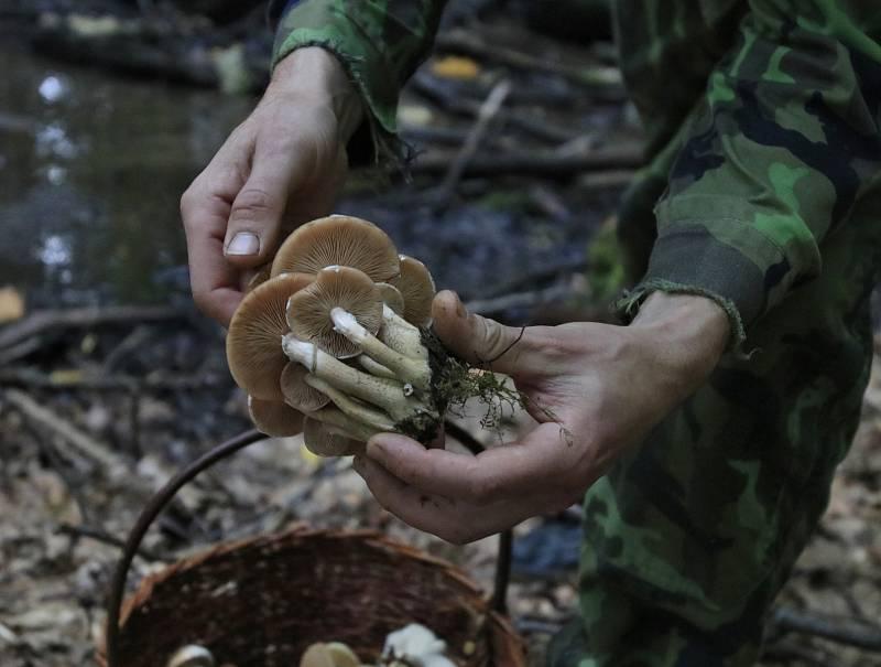 Sběr hub na Světelsku.