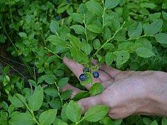 Kdo má chuť na borůvky a zároveň by rád vyrazil do lesa, může nyní spojit příjemné s užitečným.