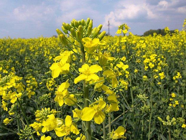 Kvetoucí řepka působí zdravotní problémy řadě lidí. Pro ty, kteří nejsou alergičtí, je potěchou oka.
