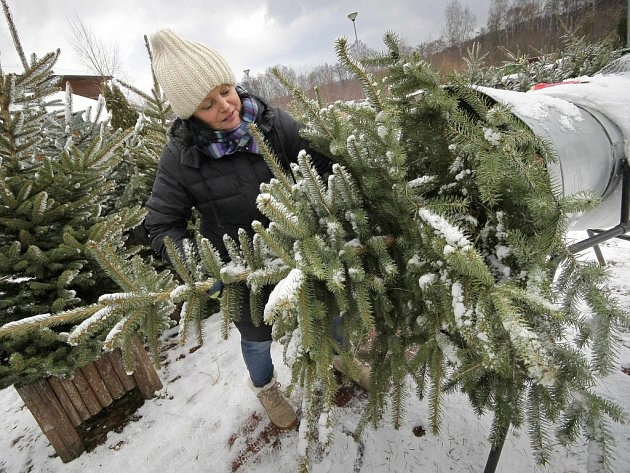 Vánoční stromky už jsou v prodeji.