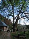 Mohutná lípa je určitě cennou turistickou zajímavostí lokality, kde pramení Hejlovský potok.
