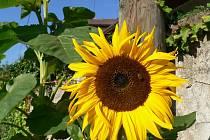Slunečnice v Pavlově
