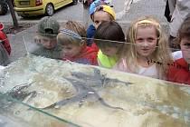 Děti si prohlížejí ryby v aqvarkách na humpoleckém náměstí