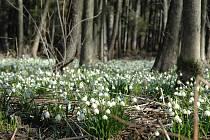 V chráněném území za Vyskytnou dala najevo svou krásu a sílu jarní příroda. Bledule jarní v tamních mokřadech převzaly zase jednou v roce pomyslnou vládu nad ostatním rostlinstvem a obsadily široké plochy protnuté pomalu rozpukávajícími stromy a jezírky.
