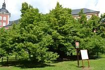 Strom ze třináctého století je i dnes neodmyslitelnou ozdobou zahrady kamenického zámku.