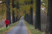 Pelhřimovsko se může chlubit řadou alejí podél silnic. Na snímku unikátní modřínová alej z Počátek do Kališť.