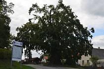 Dutinu památného stromu zakrývá nový šindel. Zevnitř je lípa ošetřená, zdravotní zásah se nevyhnul ani koruně, kterou odborníci prořezali a zpevnili.