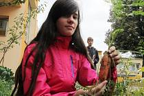 V areálu Základní školy Krásovy domky Pelhřimov byla ve čtvrtek slavnostně otevřena přírodní zahrada, jejíž součástí je pergola, která bude do budoucna sloužit jako přírodní učebna.