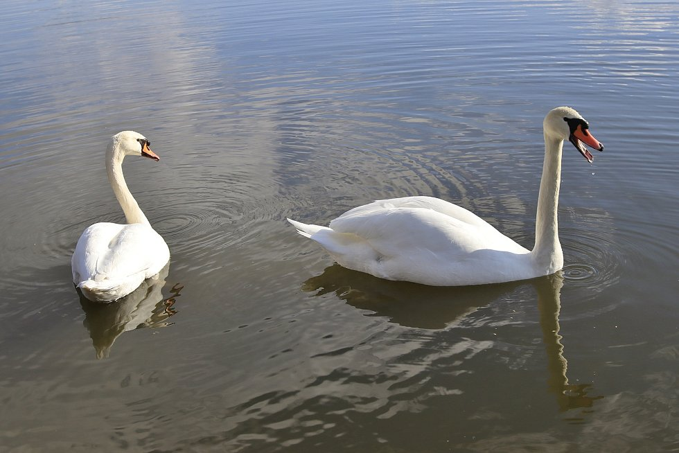 Labutě na Humpoleckém rybníku za Humpolcem.