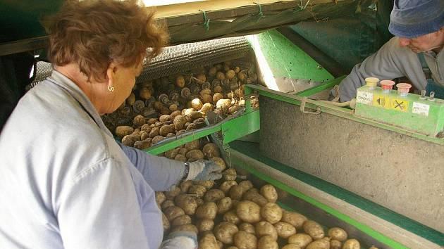 Sběr brambor u Stanovic
