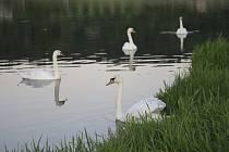 Labutě na rybníku Hadina u Humpolce.
