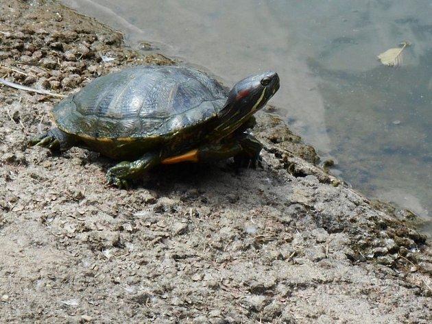 Obojživelník z Ameriky vegetuje na břehu sídlištního rybníka a nějaký čas tráví i pod jeho hladinou.