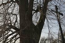 Stromů, které se mohou ucházet o honosný titul Strom roku 2008, se najde celá řada i na Pelhřimovsku. Jeden takový pamětník stojí i v Košeticích.