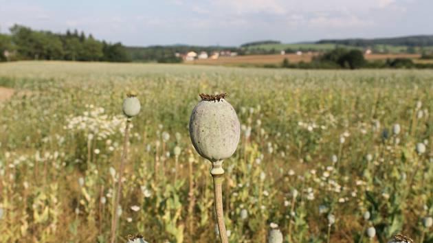 Makovice na poli u Horní Cerekve