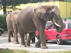 Neobvyklá sloní procházka.