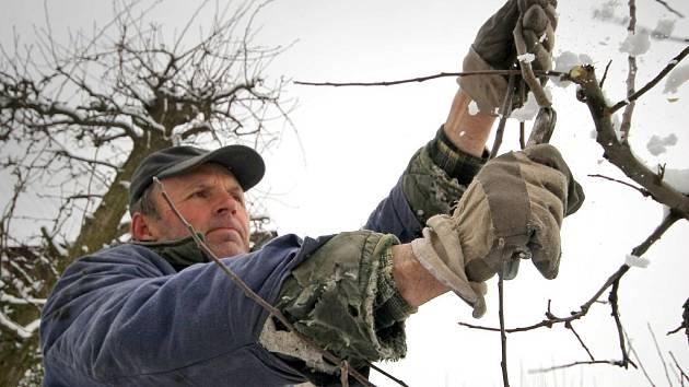 Pěstitel z Humpolce na snímku po čerstvé sněhové nadílce začal s prořezávkou stromů.