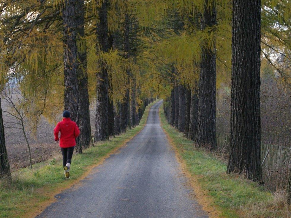 Modřínová alej na trase Počátky-Kaliště bývá častým útočištěm chodců i běžců.