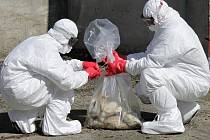 Ptačí chřipka se v Horní Cerekvi na Pelhřimovsku nerozšířila. Lidé ale i tak zůstávají obezřetní. Ilustrační foto