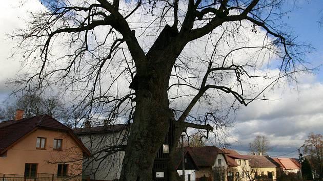 Lípa v Jiřicích na Humpolecku je památným stromem. Jenom obvod dutého kmenu měřil při posledním měření v roce 1996 828 centimetrů.  Lípa přežila celou řadu úderů blesku, byla zdrojem námětů řady pověstí a bájí.