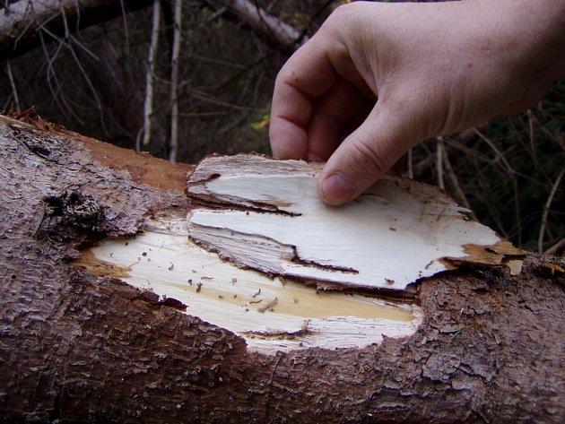 Napadení kůrovcem se u smrku pozná podle opadávajícího jehličí a odlupující se kůry. V opa-dané kůře jsou pak malé otvory a v lýku pod kůrou se nachází množství malých chodbiček.
