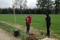 Dvaadvacet nových stromků vyrostlo na polní cestě u Počátek.