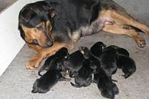 Matka čtrnácti štěňátek si příliš neodpočine. Chumel potomků vyžaduje krmení každé půldruhé hodiny.
