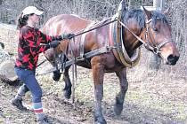 Budoucí chovatelé koní poznají při humpoleckých studiích každý detail tohoto oboru. Nachomýtli se i k tahání dřeva pro výrobu parkurových překážek. Čtyřletý valach Drak (vede jej ošetřovatelka Marie Filipová) si s tunovými kulatinami hravě poradil.