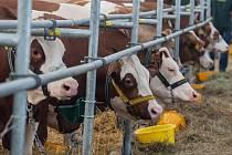 Více než čtyřicet procent z celkového stáda skotu představují krávy a ty daly 592 195 tisíc litrů mléka.