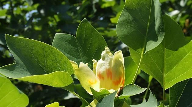 Ten, kdo v těchto dnech navštíví pelhřimovskou Děkanskou zahradu, může mimo jiné obdivovat i strom, který svými listy připomíná spíše javor. Při bližším pohledu ovšem zjistí, že skrývá i krásné žluté květy.