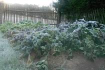 Ranní mrazíky některým zahrádkářům spálily část úrody.