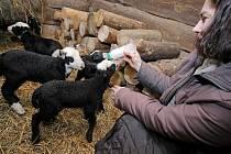 Jehňata jsou na světě teprve pár týdnů. Ovčí mamince už ale dají pořádně zabrat.