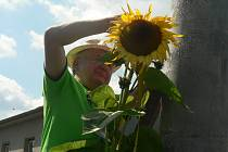 V Pavlově budou měřit slunečnice.