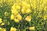 Kvetoucí řepka olejka.