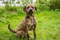 Pelhřimovský azyl pro psy nabízí Tygra k adopci.