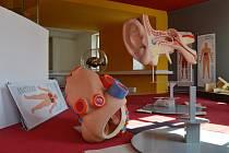 Nová expozice nabídne také modely lidského ucha a srdce v nadživotní velikosti.