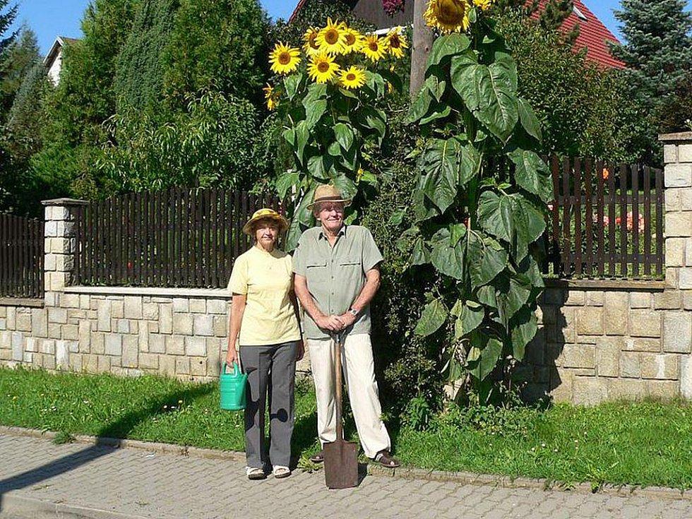 Vloni vypěstovali nejvyšší slunečnici manželé Doležalovi. (na snímku)