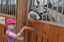 Sobotní Selské slavnosti se mohly pochlubit hojným počtem návštěvníků, k nimž patřily především rodiny s dětmi. Ty se mohly zúčastnit nejrůznější aktivit, které byly zaměřeny hlavně na poznávání života na farmě.