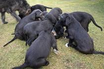 Štěňata irských vlkodavů hladovku rozhodně nedrží. Příležitost, kdy mohou sníst nějakou dobrotu, třeba v podobě piškotů, si nikdy nenechají ujít