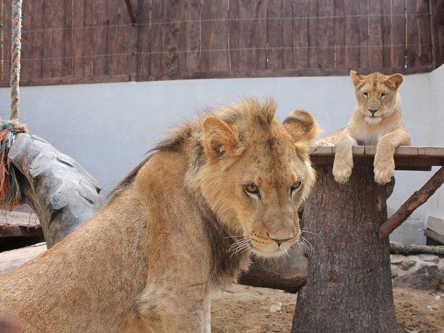 Ladislav Váňa má nově ve svém zoo koutku i lvy. Přesněji lvici Elsu a lva Kinga. Mláďatům je teprve rok a do budoucna plánuje Váňa rozšířit chov šelem ještě o rysy.
