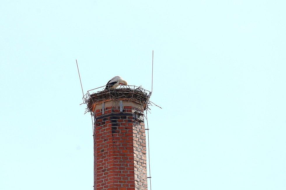 Čápa bílého mohou zájemci v těchto dnech zahlídnout například na komíně, který je součástí areálu pivovaru v Kamenici nad Lipou.