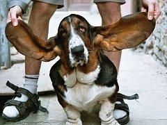 Pes s nejdelšíma ušima. Chovatelka Lenka Sklenářová se zapsala do České knihy rekordů se svým psem jménem Art plemene Basset Hound (chovatelská stanice Bohemia Highland), jehož každé ucho mělo při oficiálním měření délku 31 cm.