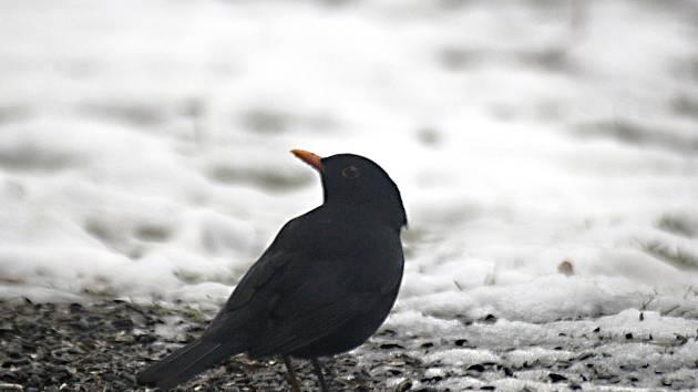 Mezi těmi, kteří na zimu zůstávají, jsou čím dál častěji i kosi.