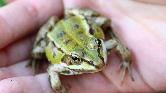 Zábrany u silnic chrání žáby, které nyní putují do rybníků.