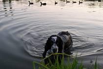 Některá plemena psů koupání přímo zbožňují. Voda by se jim však raději neměla dostat do uší. Mazlíčci potom mohou trpět záněty.