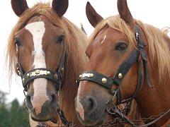 Koně. Ilustrační foto