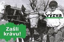 """Muzeum Vysočiny Pelhřimov zveřejnilo výzvu """"Zašli krávu"""". Díky ní chce získat tematicky zaměřené osobní vzpomínky, fotografie či zážitky."""