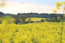 Do žluté se v těchto dnech vybarvily lány řepky, která patřík tradičním plodinám pěstovaným v posledních letech na Vysočině, a tedy i na Pelhřimovsku.