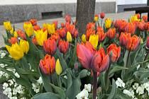 Kombinace žlutých a oranžových tulipánů letos rozzářily Velké náměstí v Písku.