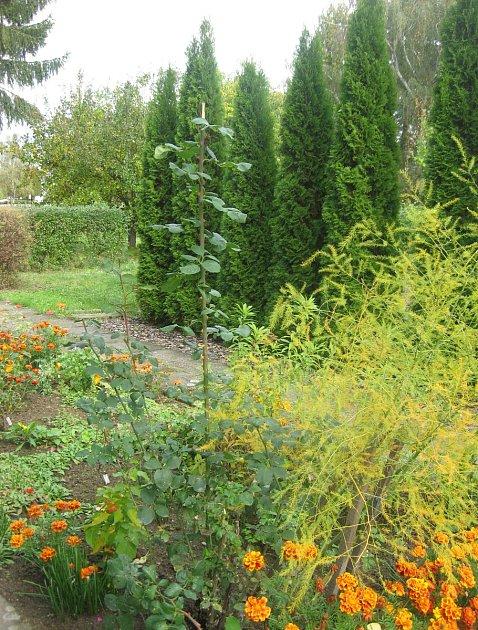Růže na zahradě Josefa Fuky.